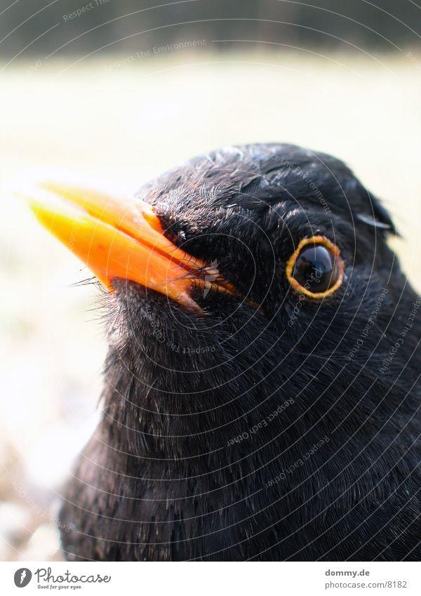 Vögelchen 1 schwarz Vogel nah außergewöhnlich Makroaufnahme