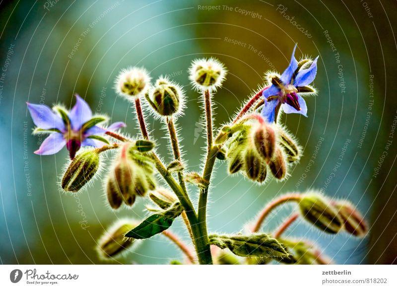 Borago officinalis Blume Blüte Erholung Garten Schrebergarten Sommer Borretsch Dill Küchenkräuter Curcuma Kräuter & Gewürze Heilpflanzen Rauhblatt Pflanze Blatt