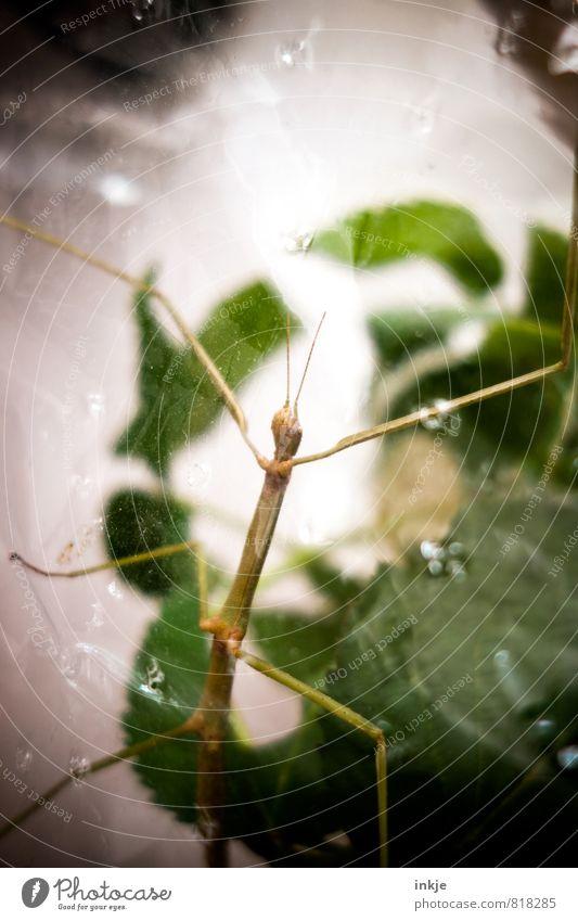Sascha-Ulrike, unser Findelkind Natur grün Blatt Tier außergewöhnlich Wildtier Glas beobachten dünn Insekt lang Haustier exotisch hängen krabbeln Heuschrecke