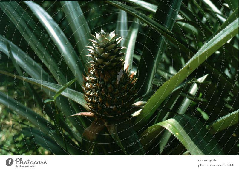 Anna nass Gesundheit Frucht Wut lecker Süden Ananas