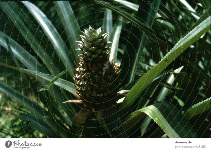 Anna nass Süden lecker Gesundheit Ananas Frucht Wut