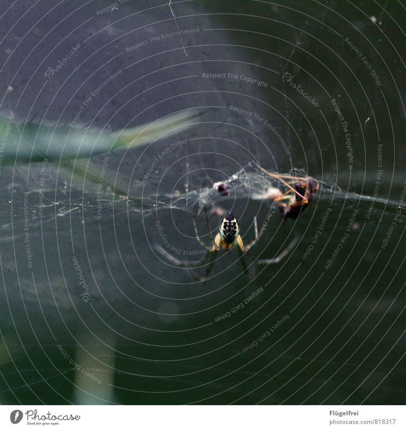 Tilt Spinne 2 Tier fangen Spinnennetz gefangen Fliege Insekt Beine Fressen Wald dunkel bedrohlich Nahrungskette Farbfoto Gedeckte Farben Makroaufnahme