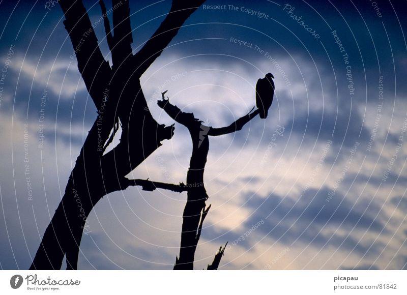 Urubu Geier Baum Tod Wolken Brasilien Vogel drohen Baumstamm Paradies urubu aasgeier Himmel unglücksrabe