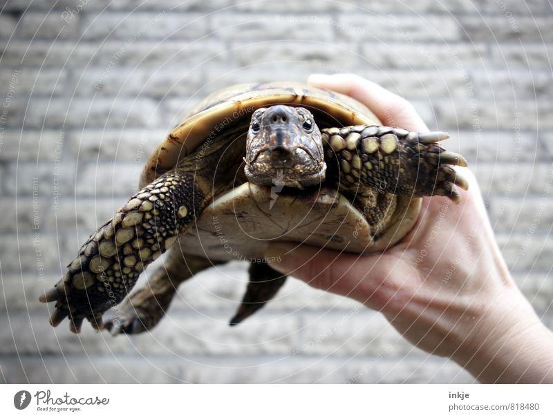 Oskar - steinalt Menschenleer Mauer Wand Fassade Haustier Tiergesicht Schildkröte grieschische landschildkröte Landschildkröte 1 festhalten Blick authentisch