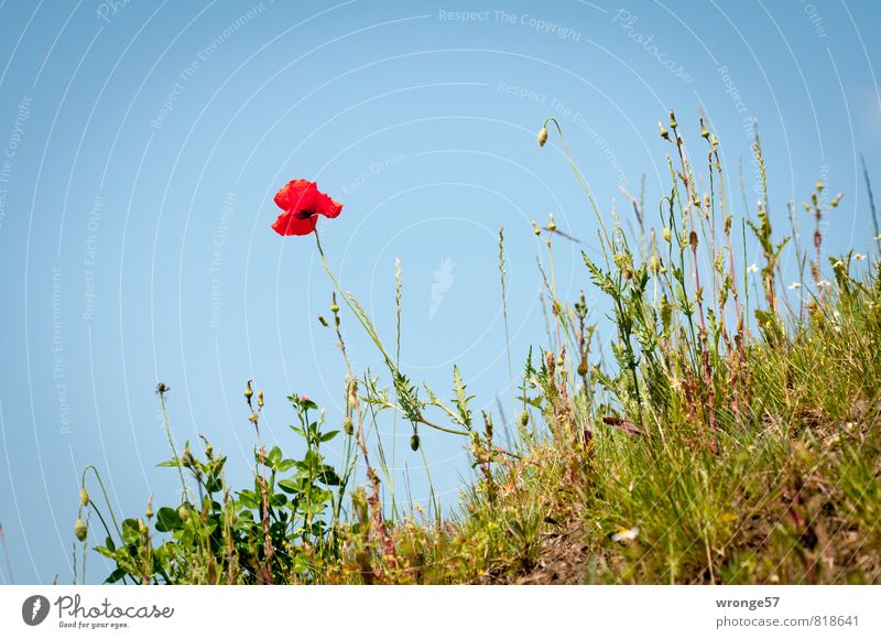 Hanglage Himmel Natur blau Pflanze grün Sommer rot Blüte einzeln Schönes Wetter Wolkenloser Himmel Mohn Blauer Himmel Berghang Straßenrand Wildpflanze
