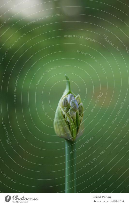 entfaltung Natur Pflanze Blume frisch grün Blüte Blütenknospen Beginn entfalten Garten Spitze klein Sommer Wachstum violett blau Stengel Jungpflanze Farbfoto