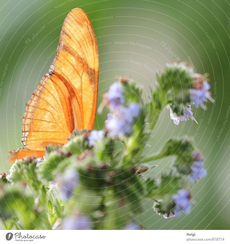 versteckt... Umwelt Natur Pflanze Tier Sommer Blume Blüte Schmetterling Flügel 1 Blühend ästhetisch außergewöhnlich schön einzigartig natürlich blau grau grün
