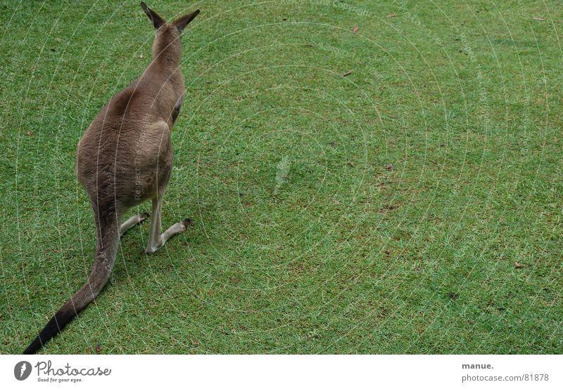Sitting, Waiting, Wishing Känguruh Australien springen ruhig Gras kuschlig Denken erhaben Gelassenheit Grasnarbe Einsamkeit Umwelt Sportrasen besinnlich grün