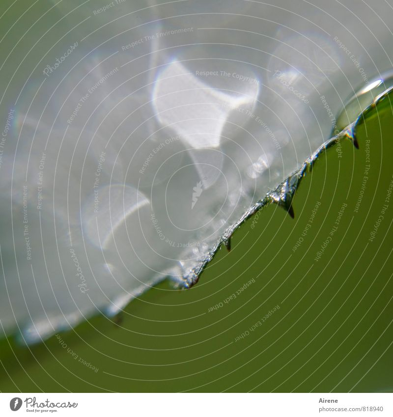 Blattsilber Natur Pflanze Wasser Wassertropfen Sträucher Brombeerblätter Garten glänzend leuchten grün Säge Sägebatt gezackt Zacken scharfkantig glitzern