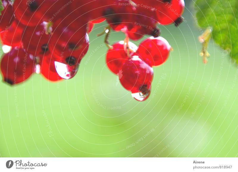 verschwommene Beeren Johannisbeeren Frucht Pflanze Wasser Wassertropfen Sträucher Nutzpflanze Beerensträucher Träuble Traubenfrucht Beerenfrucht Garten hängen