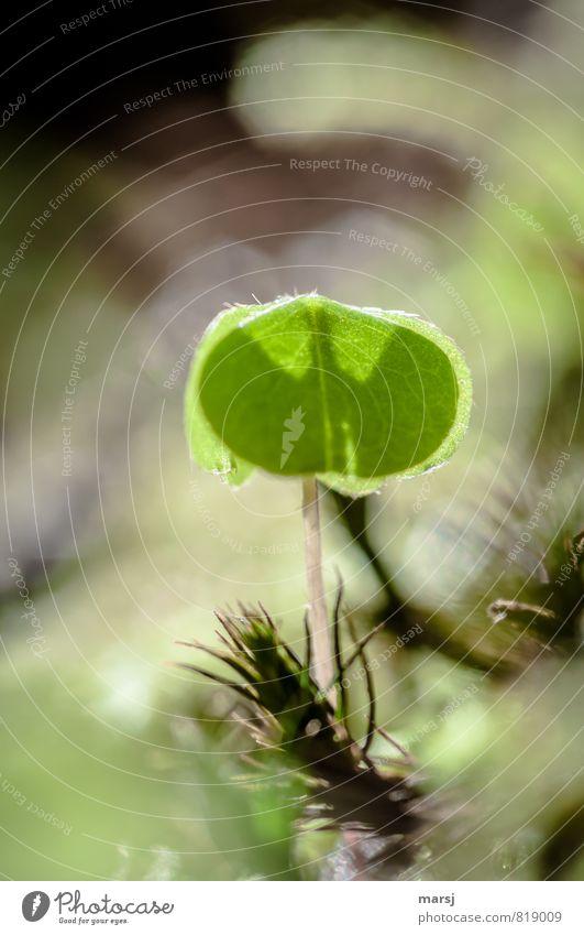 Batman`s Schatten Natur Pflanze Frühling Sommer Blatt Grünpflanze Wildpflanze waldklee Kleeblatt Hasenklee leuchten Wachstum ästhetisch außergewöhnlich dünn