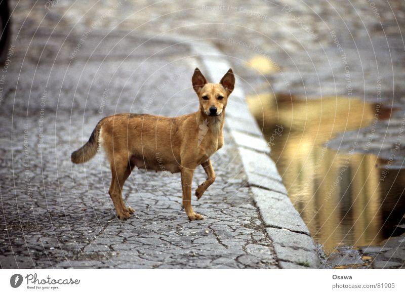 Sibiu / Hermannstadt II Hund Rumänien Siebenbürgen niedlich süß Pfütze Bürgersteig Straßenbelag Teer Löffel Reflexion & Spiegelung drollig schön Asphalt