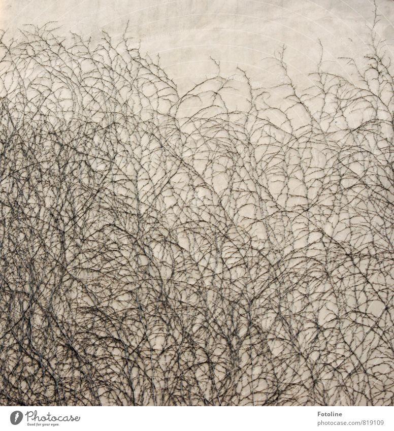 (ver)wirr(t) Natur Pflanze Winter Wildpflanze nah natürlich trist durcheinander Irritation Wilder Wein Ranke Wachstum Wand Außenaufnahme Detailaufnahme