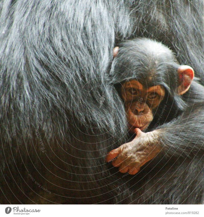 haarig | Geborgenheit Umwelt Natur Tier Wildtier Fell Pfote 2 Tierjunges Tierfamilie hell nah natürlich Neugier niedlich wild schwarz Affen Äffchen Finger Hand