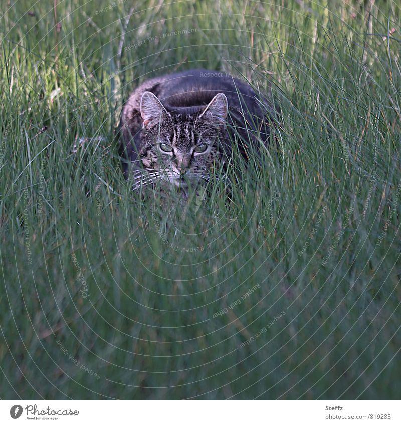 auf der Lauer Katze Natur grün Sommer Tier Gras Garten braun beobachten Textfreiraum Konzentration Wachsamkeit Tiergesicht Haustier Vorsicht achtsam