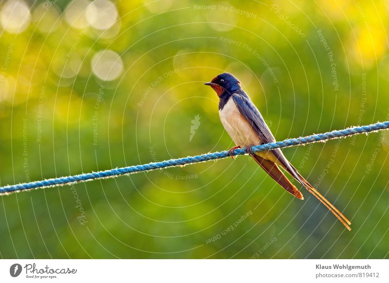 """Däumelinchens """"Fluchthelfer"""" Umwelt Natur Tier Sonnenlicht Frühling Sommer Garten Wildtier Vogel Tiergesicht Flügel Krallen Rauchschwalbe Schwalben 1 beobachten"""
