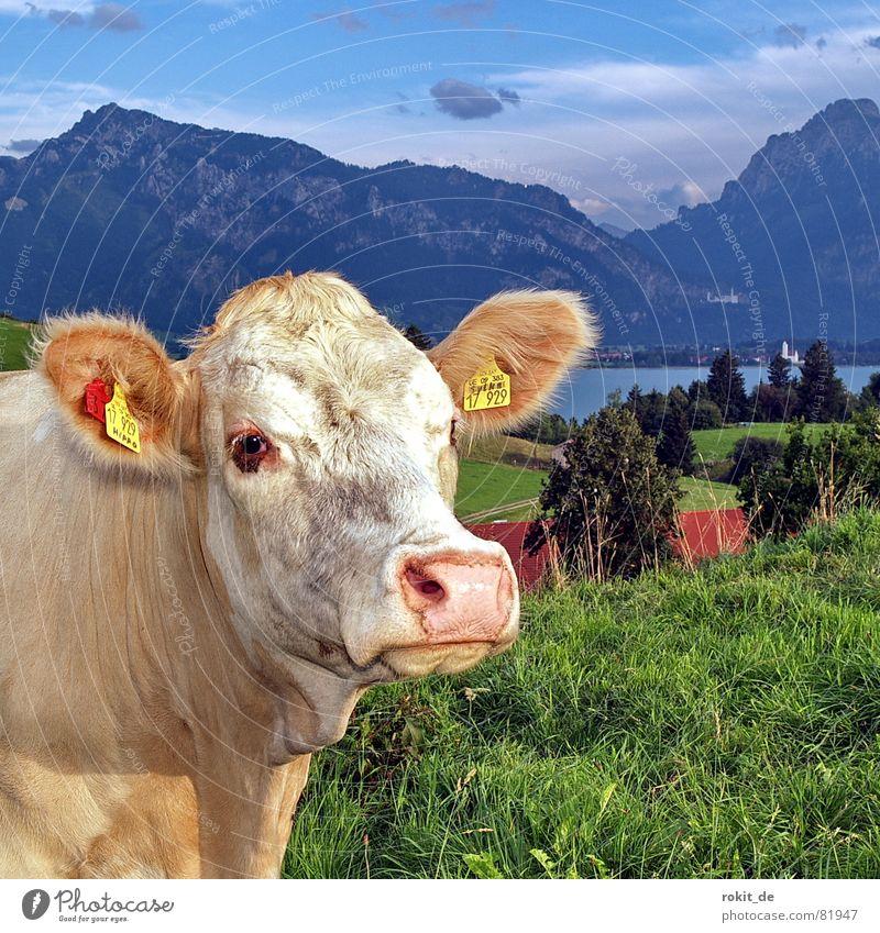En goldisch Rindvieh Knopfauge Schloß Neuschwanstein Forggensee Milchkuh See Kuh niedlich Alm Allgäu Schnauze Knöpfe Gras Hügel Wolken feucht Fell Tegelberg