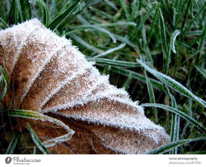 Kälte kalt Blatt Gras Halm Eis Wiese Grünfläche Pflanze Umwelt frisch Herbst grün braun gefroren Eiskristall Schnellzug Makroaufnahme Nahaufnahme Winter Frost