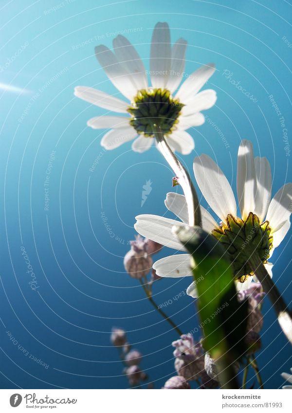 Der Sommer war sehr gross Natur Himmel Blume grün Pflanze Wiese 2 Beleuchtung Umwelt Wachstum Klarheit Blühend Alm Margerite