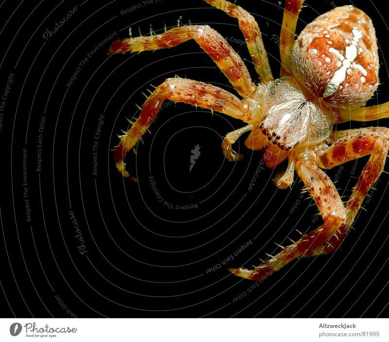 8 Augen für ein Hallejujah Spinne Spinnennetz gewebt Spinngewebe Spinner Kreuzspinne Radnetzspinne