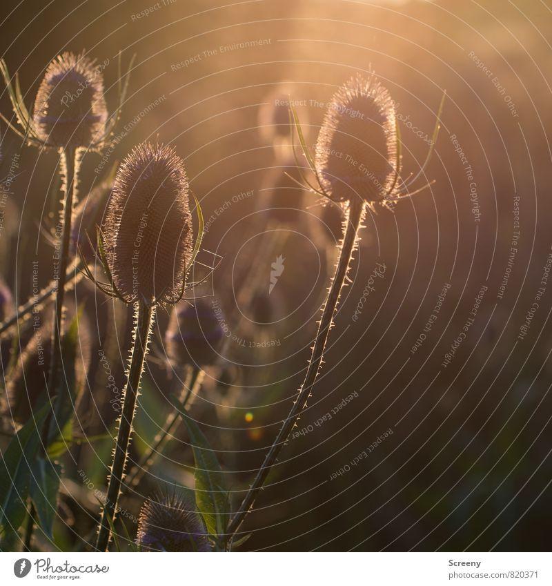 Gegenlichtkarden Natur Landschaft Pflanze Sonnenlicht Sommer Sträucher Kardendistel glänzend Spitze Wärme braun gelb gold grün Gelassenheit ruhig Idylle