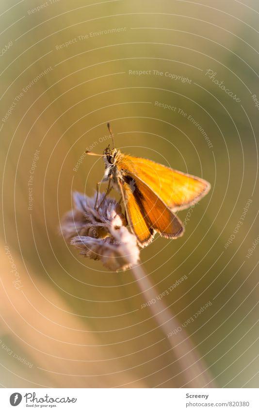 Entspannt | #200 Natur Pflanze Sommer Erholung ruhig Tier gelb Wärme Wiese Gras klein Stimmung braun Feld Idylle Zufriedenheit