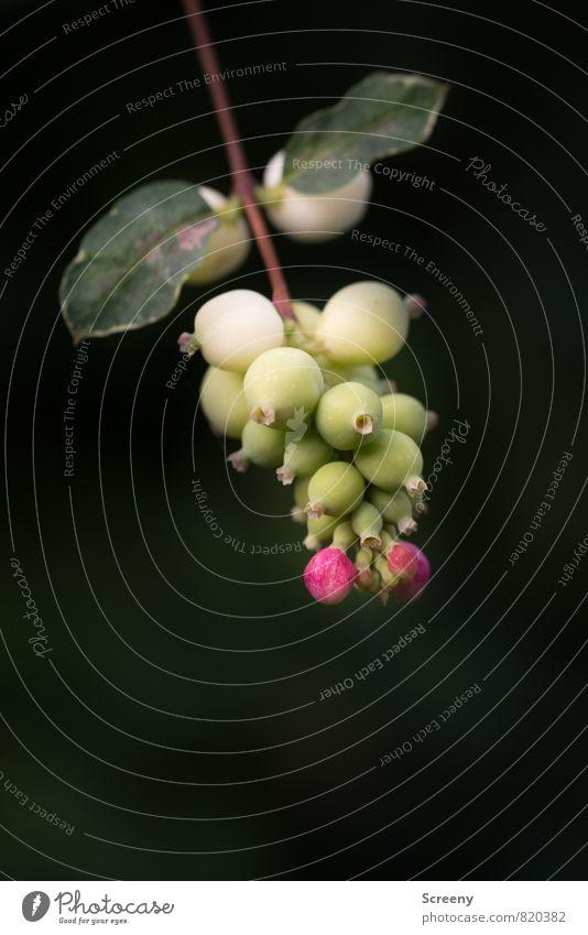 Knallerbsen Natur Pflanze grün weiß Sommer Blatt schwarz Blüte rosa Park Wachstum Sträucher Ast Blühend reif Schneebeere