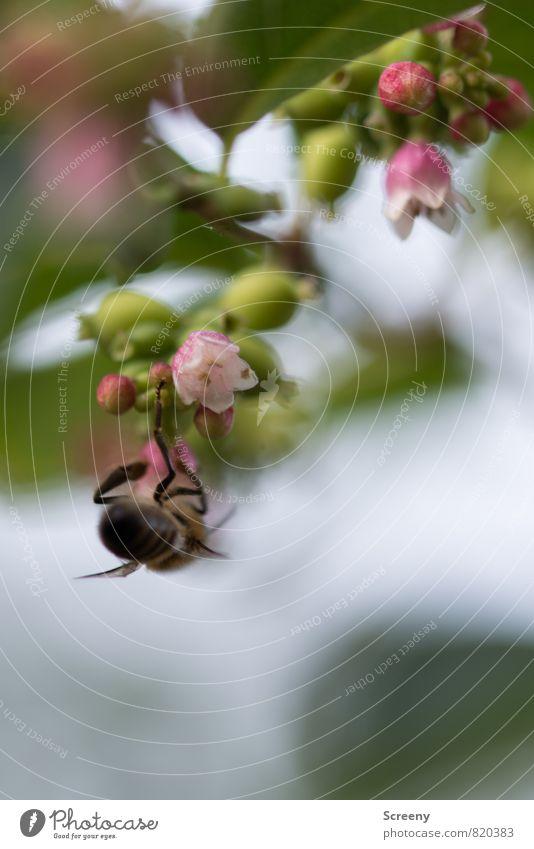 Kopfüber Natur Pflanze grün Blatt Tier Blüte klein braun fliegen rosa Park Wachstum Sträucher Blühend Biene hängen