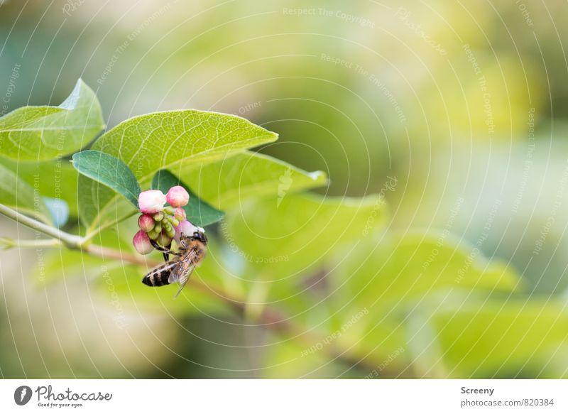 Abhängen Natur Pflanze Tier Sommer Sträucher Blatt Blüte Knallerbse Gewöhnliche Schneebeere Park Biene 1 Blühend fliegen Wachstum grün rosa weiß