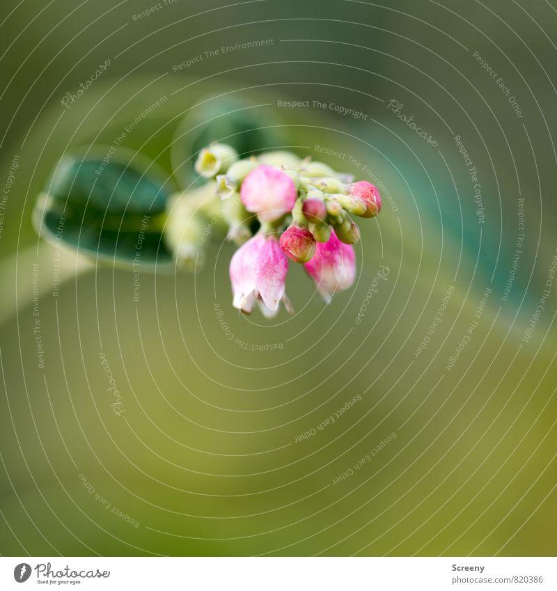 Klein Natur Pflanze Frühling Sommer Sträucher Blatt Blüte Park Blühend Duft Wachstum grün rosa weiß zart Farbfoto Makroaufnahme Menschenleer Textfreiraum unten