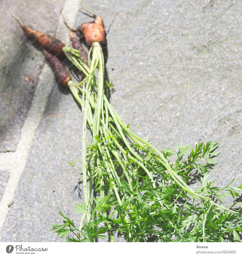 natürlich gewachsen Gemüse Möhre Bioprodukte Vegetarische Ernährung Erde Pflanze Nutzpflanze Wurzelgemüse krautig Grünpflanze Feldfrüchte Garten dreckig frisch