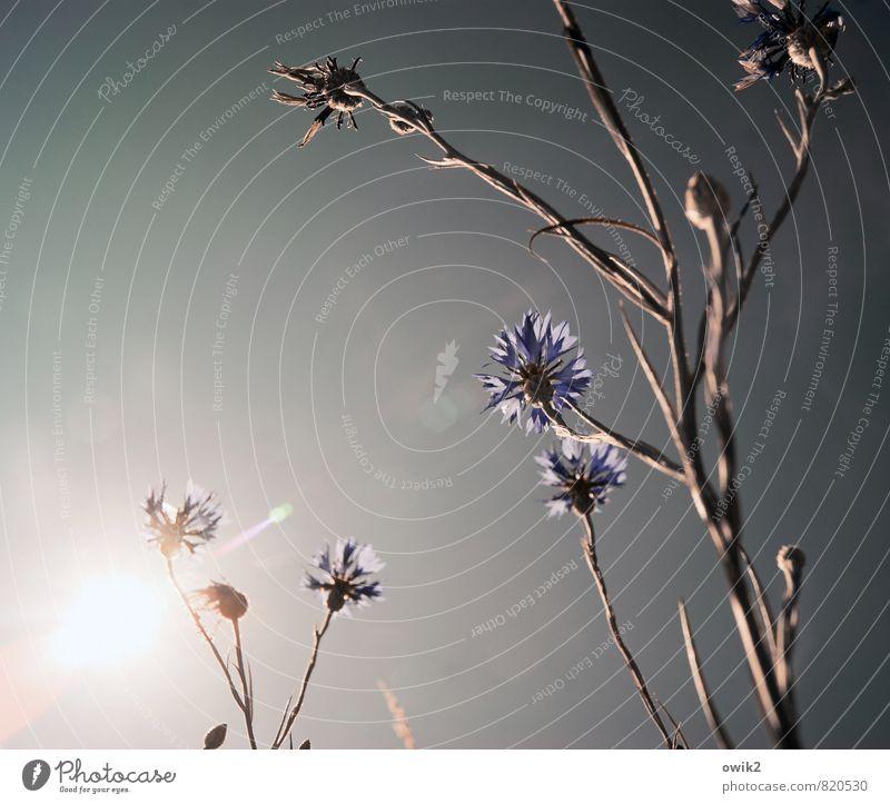 Blumensprache Umwelt Natur Pflanze Wolkenloser Himmel Sonne Sommer Klima Wetter Schönes Wetter Wärme Blüte Wildpflanze Kornblume Stengel Bewegung Wachstum dünn
