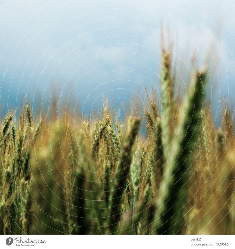 Süßgräser Himmel Natur Pflanze Sommer Wolken Umwelt Bewegung natürlich Glück Stimmung Horizont Zusammensein Wetter Wachstum stehen frisch