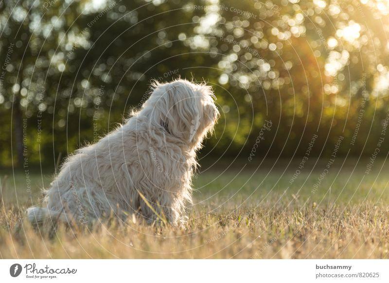 Nachdenklich Hund Natur grün weiß Sonne Tier gelb Wiese Gras Stimmung sitzen Lebewesen Fell Haustier langhaarig gehorsam