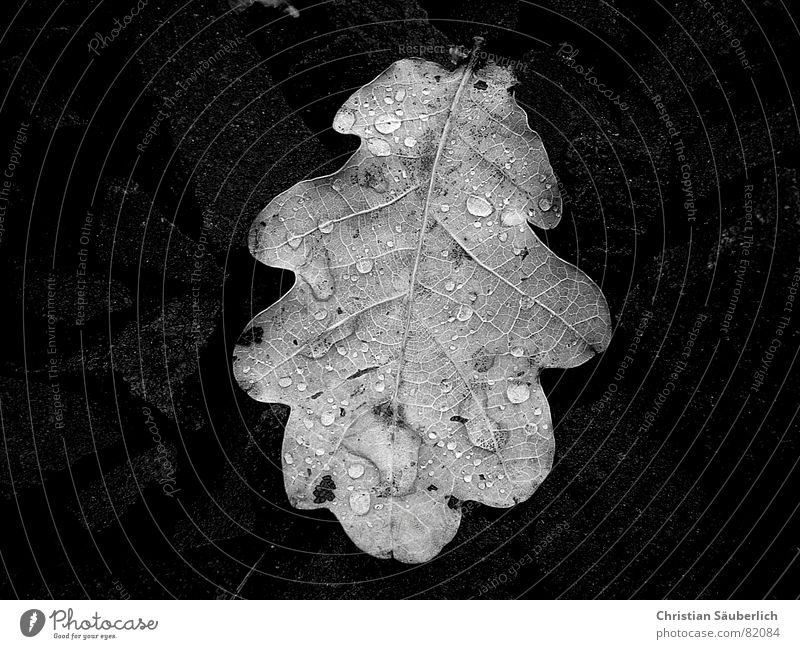 Oakleaf (Eichenblatt) Blatt schwarz Herbst Herbstlaub nass feucht farbneutral Herbstbeginn Stengel Schwarzweißfoto oakleaf kaukasisch Seil europid humid trist