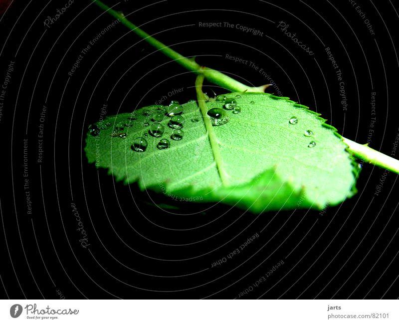 Nur kleine Tropfen Wasser grün Blatt Regen Wassertropfen Seil Rose Rosenblätter