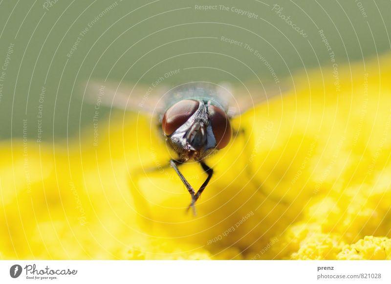 Fliege auf Gelb 2 Umwelt Natur Tier Sommer Wildtier 1 gelb grün Facettenauge Insekt sitzen Farbfoto Außenaufnahme Nahaufnahme Makroaufnahme Menschenleer