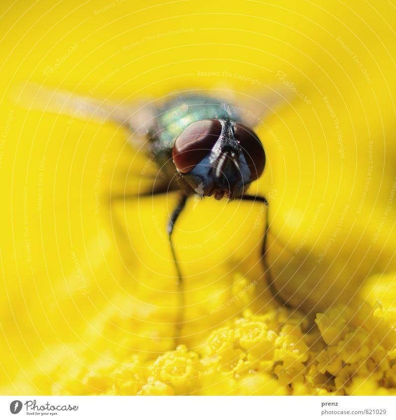 Fliege auf Gelb Umwelt Natur Pflanze Tier Sommer Schönes Wetter Wildtier 1 braun gelb grün Blütenknospen Insekt Makroaufnahme sitzen Facettenauge Farbfoto