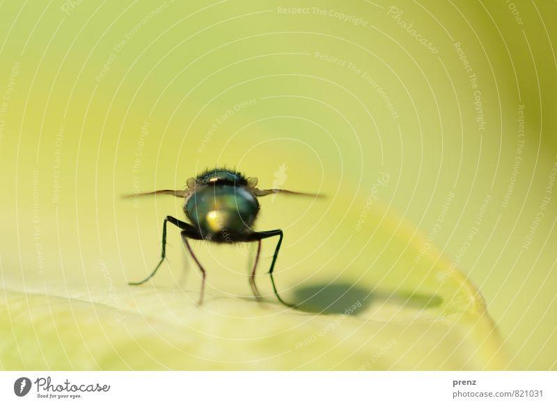 mit Schatten Umwelt Natur Tier Wildtier Fliege 1 grün schwarz Insekt sitzen Blatt Sommer Farbfoto Außenaufnahme Nahaufnahme Makroaufnahme Menschenleer