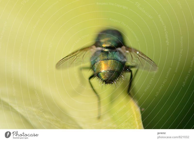Ansichtssache Umwelt Natur Tier Wildtier Fliege 1 grün Insekt sitzen Farbfoto Nahaufnahme Makroaufnahme Menschenleer Textfreiraum rechts Tag