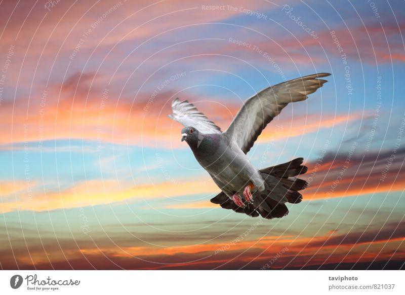 Taube fliegt über wunderschönen Himmel elegant Körper Freiheit Natur Tier Vogel Flügel Bewegung fliegen frei wild blau grau Hoffnung Farbe Frieden Fliege