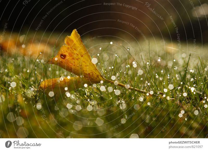 Ginkoblatt Natur Pflanze Wassertropfen Herbst Gras Blatt Wiese glänzend kalt nass braun gelb grün weiß Ginkgo Farbfoto Außenaufnahme Nahaufnahme