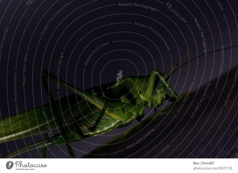 Low Key Grashüpfer Natur Tier Wildtier Käfer Steppengrashüpfer 1 hocken krabbeln warten ästhetisch sportlich außergewöhnlich dunkel elegant nah grün Kraft Mut