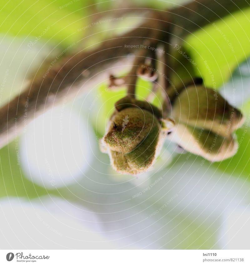 Zaubernüsse (Hamamelis) Himmel Natur blau Pflanze grün weiß Sommer gelb Wärme natürlich grau klein außergewöhnlich braun Park Luft