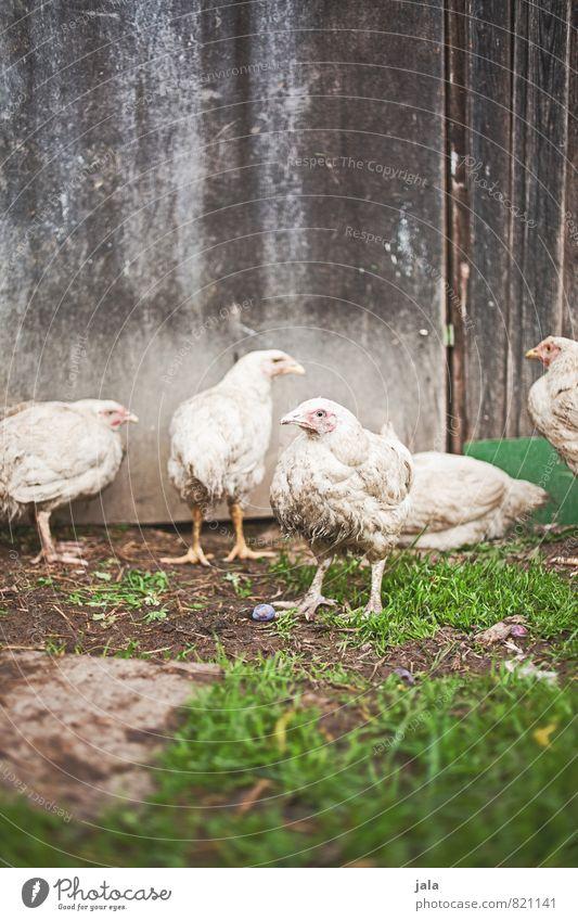 hühner Pflanze Tier Gras natürlich Tiergruppe Nutztier Hühnervögel Hühnerstall