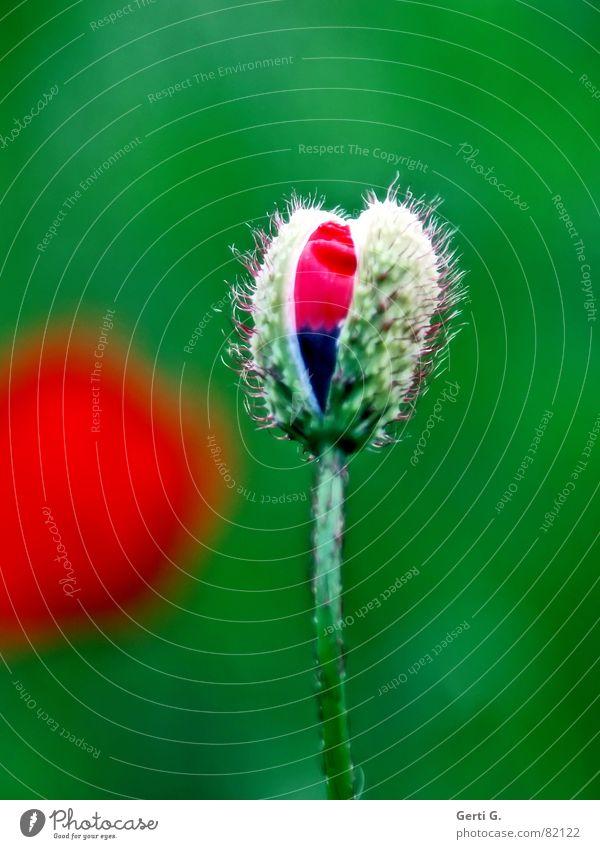 enigmatic tiefgründig Klatschmohn geplatzt aufgebrochen Blume Mohn rot zart stachelig offen knallig mehrfarbig frisch schwarz aufdringlich Blühend Frühling