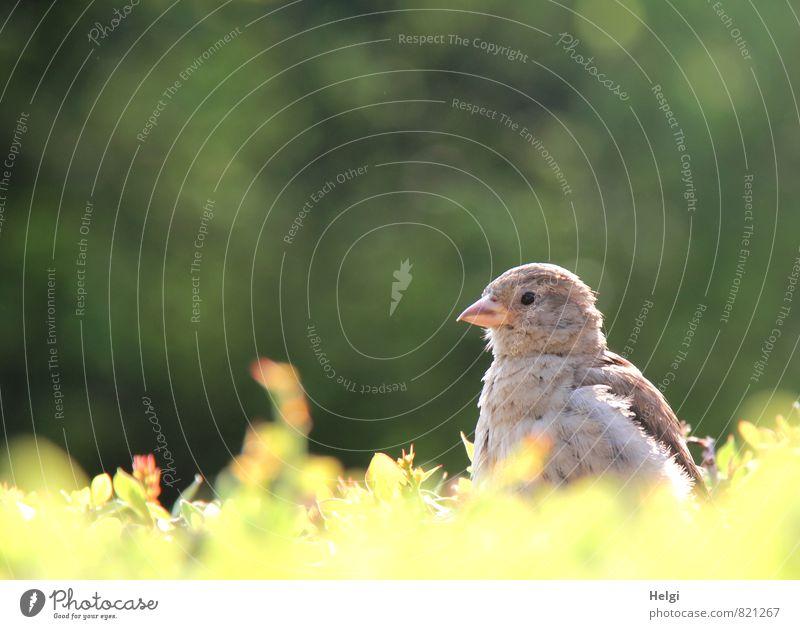 Spatzenkind... Umwelt Natur Pflanze Sommer Schönes Wetter Sträucher Grünpflanze Hecke Park Tier Wildtier Vogel 1 Tierjunges beobachten Blick warten ästhetisch