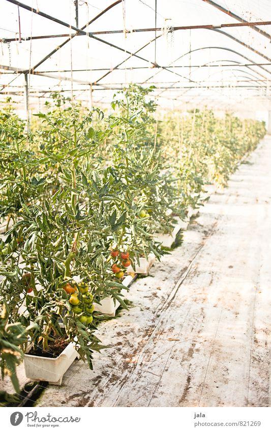 tomaten Pflanze Gebäude hell Arbeit & Erwerbstätigkeit groß Landwirtschaft Bauwerk Arbeitsplatz Forstwirtschaft Gartenarbeit Tomate Nutzpflanze Gewächshaus