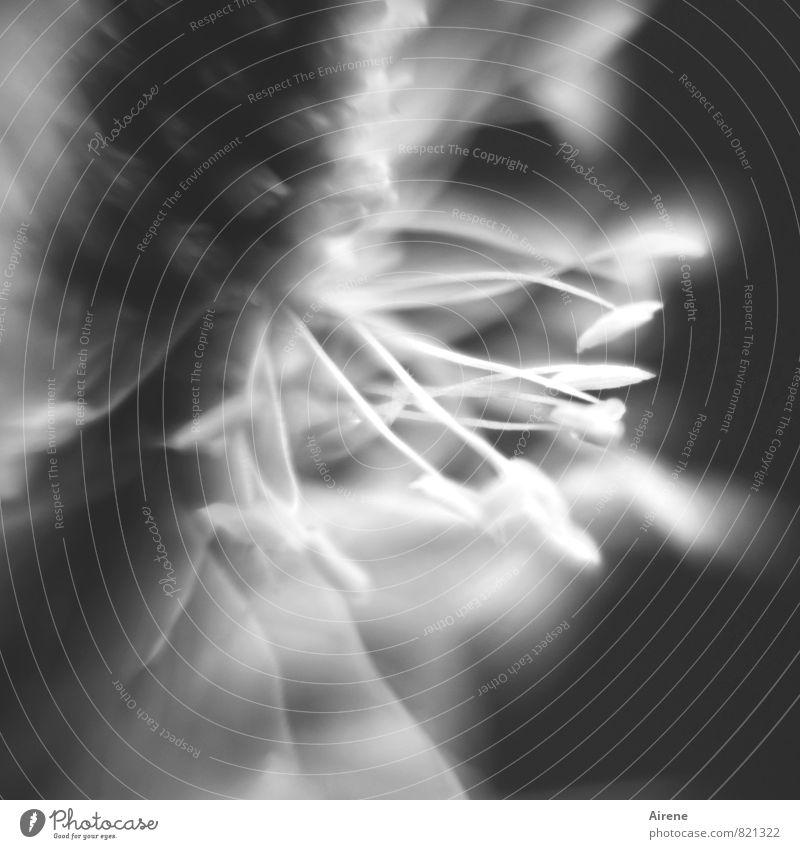 bei näherer Betrachtung... Pflanze Blume Blüte Spitzwegerich stachelig schwarz weiß ästhetisch Schwarzweißfoto Außenaufnahme Makroaufnahme Menschenleer