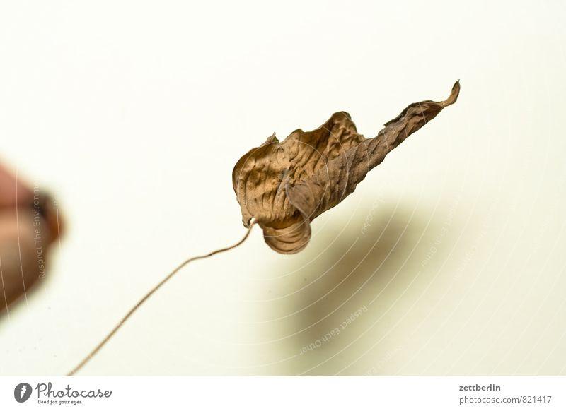 Monstera Fensterblätter Aronstab Blatt welk getrocknet vertrocknet trocken braun Pflanze Zimmerpflanze Topfpflanze Herbst Tod Leben Zyklus Lebensfluss